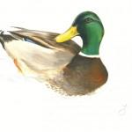 Parcours faune : le canard colvert