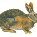Parcours faune : le lapin de garenne