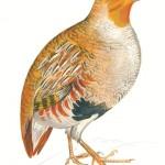 Parcours faune : la perdrix